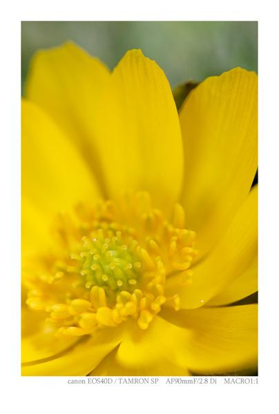 EOS40Dで撮影した花(福寿草)の写真