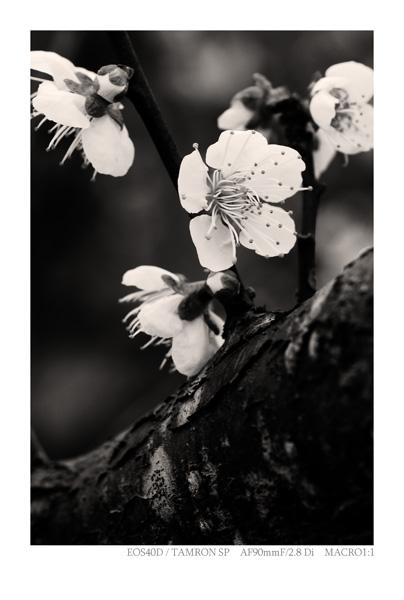EOS40Dで撮影した梅の写真
