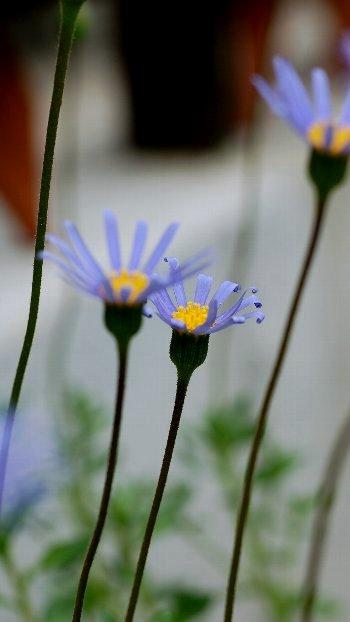 blue daizy