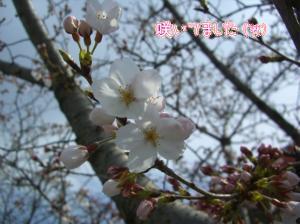 幼稚園の桜。