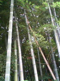 20080820185907竹薮