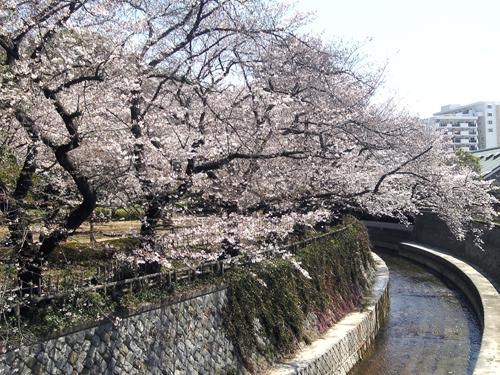nakanodoorisakura2.jpg