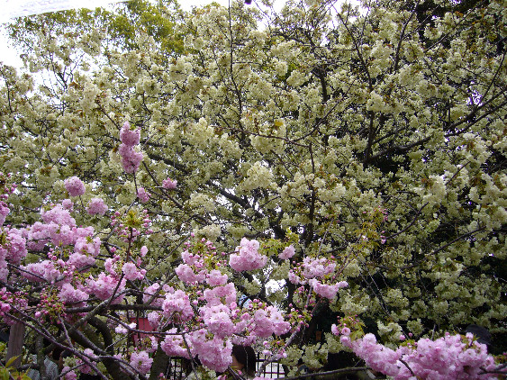 桜の通り抜け2