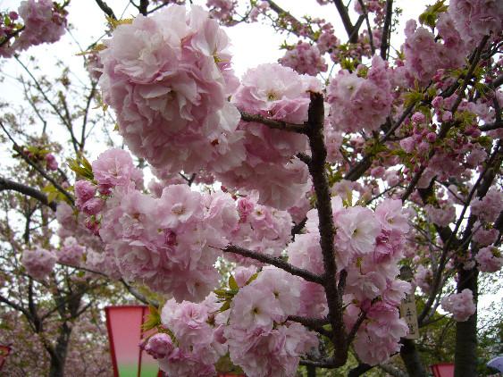 桜の通り抜け3