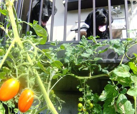 トマト食べたい!