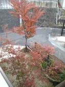 庭もみじとけやきの紅葉2007,11