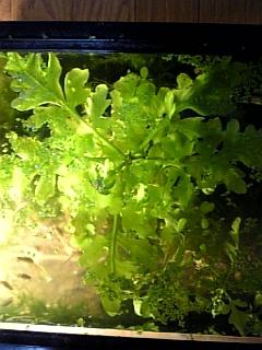 うちで育つ水草