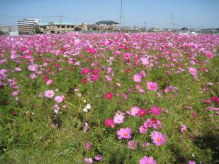 kosumosu_20091026104255.jpg