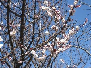 sakura_20110319003317.jpg