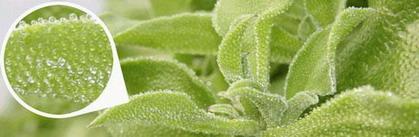 iceplant_putina[1]