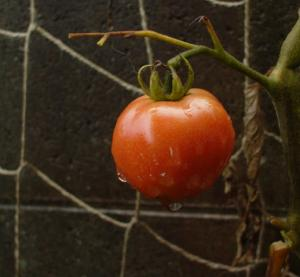 tomato-12589.jpg