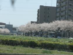 2011桜 仙台