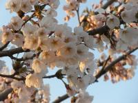 ゆーチェリー前 桜