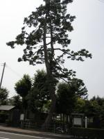 岩沼 二木の松