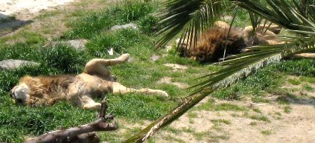 やる気のないライオンさん