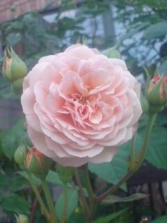 アンジェラのバラ