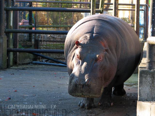 hippoppo3.jpg
