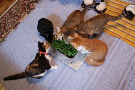 猫草 5匹