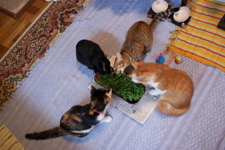 猫草 4匹