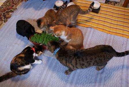 猫草 6匹