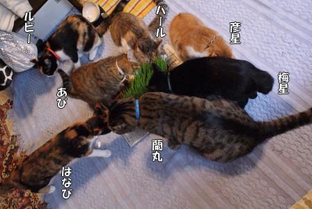 猫草 7匹
