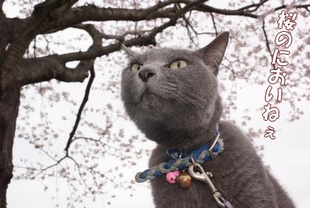 ぶ 桜のにおい