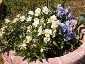 新馬調教直前に花壇で2枚目。