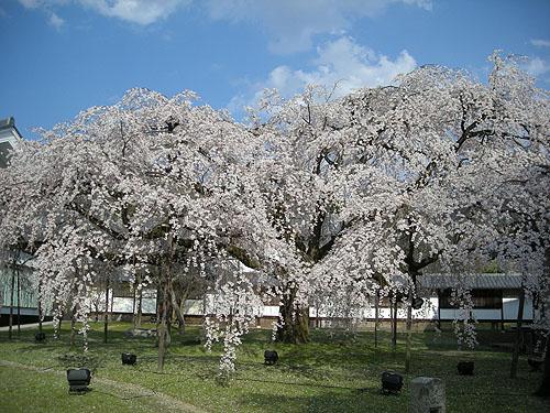 ☆醍醐寺霊宝館の桜④