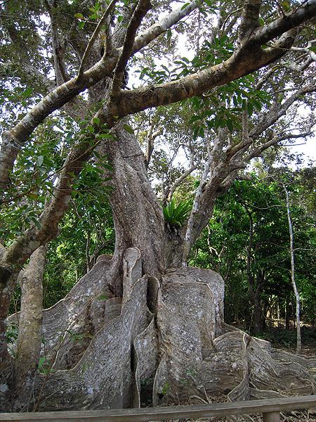 ☆サキシマスオウの木④