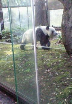 パンダのりんりん