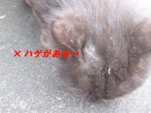 黒洋猫はげ