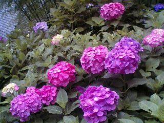 鎌倉 紫陽花めぐり~長谷寺