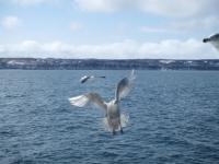 北海道~「おーろら号」から見るカモメ