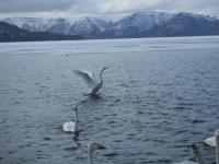 北海道~屈斜路湖の白鳥