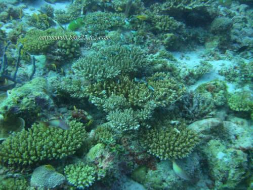 モルディブだって珊瑚は元気です