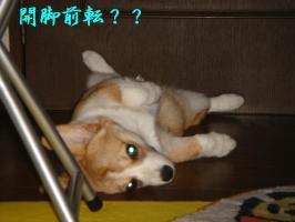 おっぴろげ犬