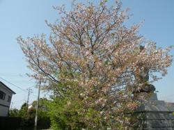 葉桜948