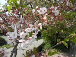 葉桜2948