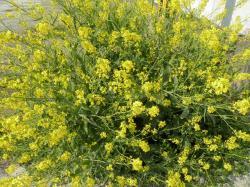 菜の花948