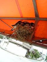 ツバメの巣9613