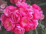 s-rose04_200.jpg