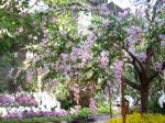 蘭のしだれ桜
