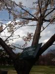桜 タマナワ