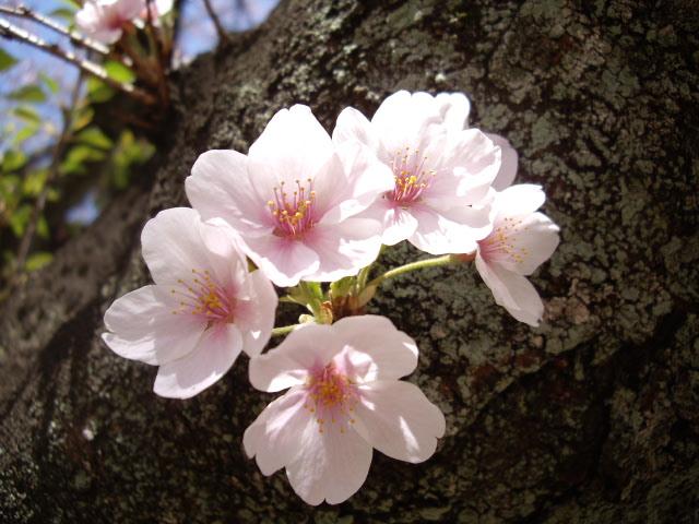 こんなところにも小さな桜が・・・
