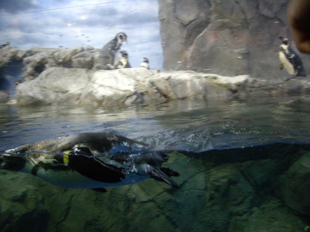 ペンギン泳いでます