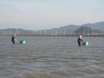 05101721あさりが居る漁場は美味しい海苔をつくる漁場なのだそうです