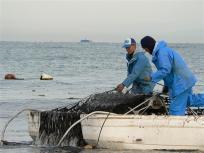 美味しい熊本海苔ナギサちゃんの初摘みです