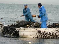 P1090006一枚一枚海苔網から摘み取りました