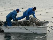 P1060491海苔師が一生懸命摘み取って
