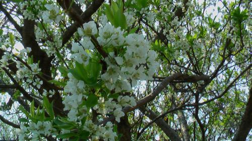 白い花満開2